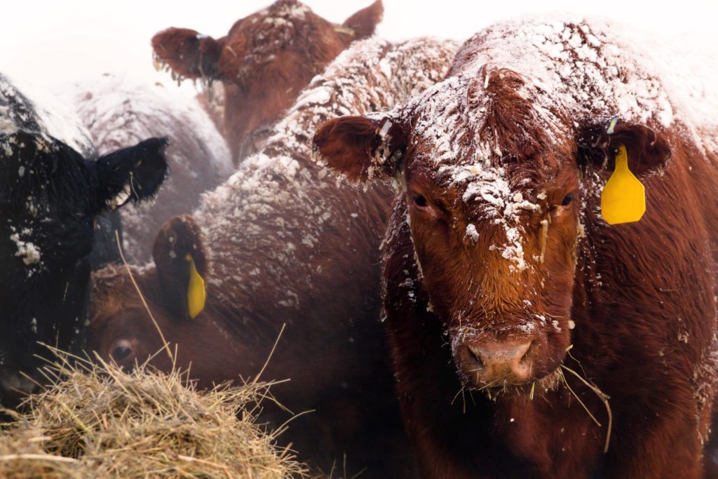 A,Red,Angus,Cow,With,Snow,On,Her,Face,Eating