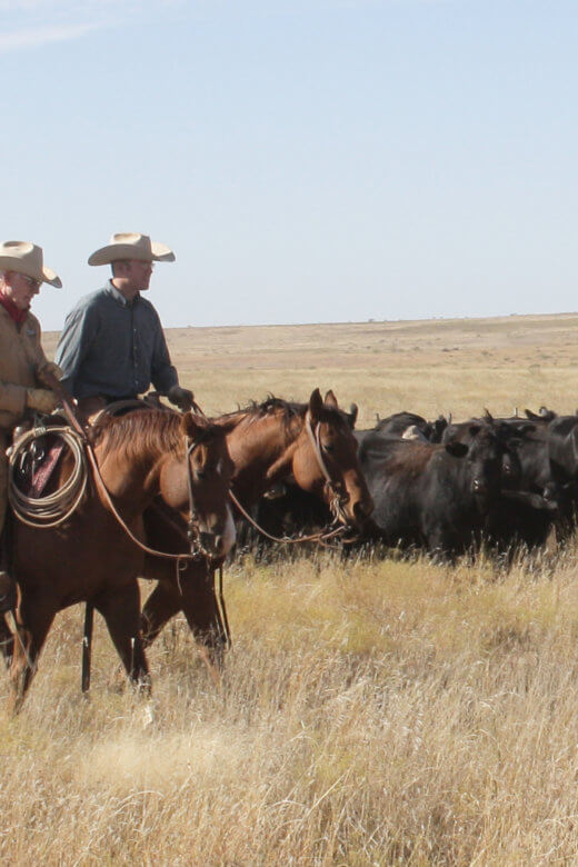 two cowboys herding cattle in a field